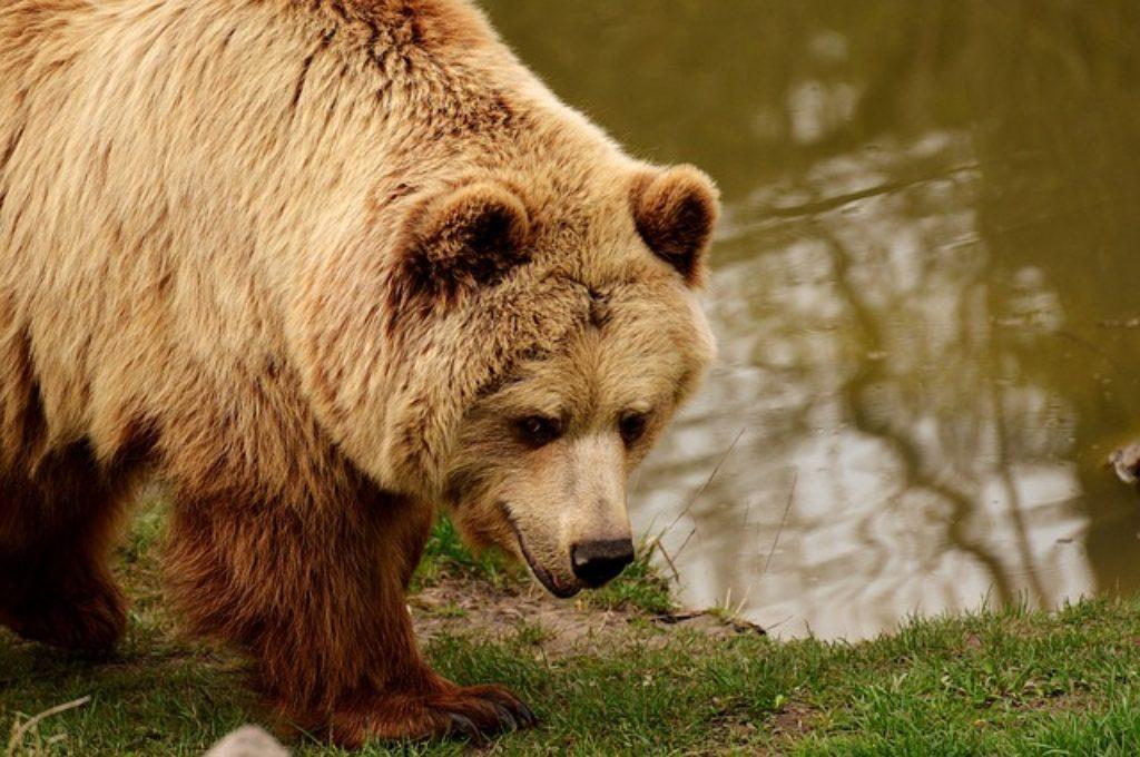 Grizzlies Gone Wild Series